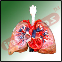 HUMAN LUNGS WITH HEART AND LARYNX